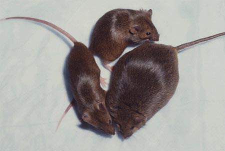 skinny-mice